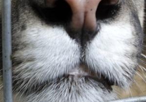 Спрос на кашемир угрожает снежному барсу
