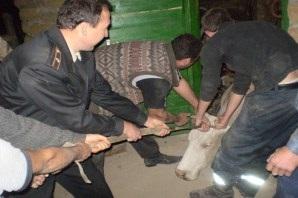 В Полтавской области за один день спасли двух коров