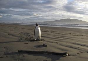Найденного в Новой Зеландии пингвина выпустили на волю в океан
