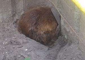 новости Киева - бобер - Бобер напугал жителей девятиэтажки на Позняках