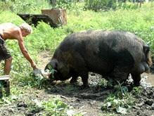 Дикие кабаны угрожают сельскому хозяйству Харьковской области
