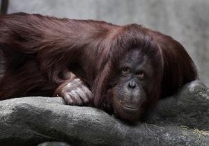 В Малайзии растолстевшего от фаст-фуда орангутанга посадили на диету
