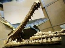 В Бразилии найдены останки крокодила, пережившего динозавров