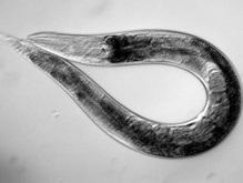 Ученые: Слепые черви способны чувствовать свет