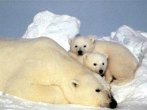 Белые медведи не могут мигрировать на север из-за потепления