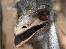 Жители Витебска скинулись на покупку двух страусят