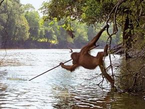 Борнео стал островом обезьян