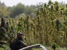 Адыгеец вырастил на огороде 22 тысячи кустов конопли