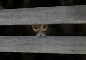 В Борисполе у гражданина Сирии изъяли 15 обезьян