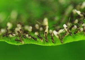 Работу заболевших муравьев берут на себя их коллеги - ученые