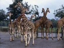 Биологи: Жирафов стоит разделить на шесть различных видов