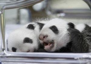 В мадридском зоопарке родились панды-близнецы