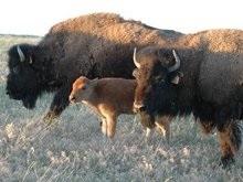 С российской фермы сбежали десять бизонов