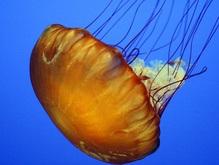 Ученые нашли у медуз гены бактерий