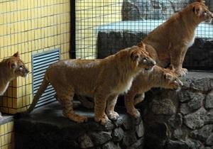 В киевском зоопарке лев напал на человека - источник
