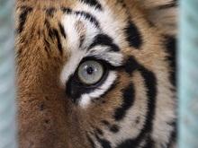 В Китае тигр съел душевнобольного