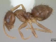Техас оккупировали бешеные муравьи