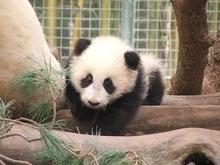 Самый большой питомник для панд откроют в Китае