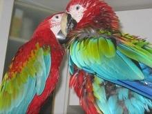 Японский попугай решает головоломки быстрее людей