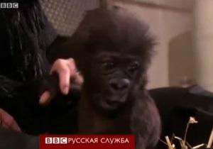 Новости США: Люди удочерили гориллу, отвергнутую стаей