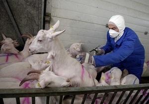 Фотогалерея: Массовый забой коз и овец в Голландии