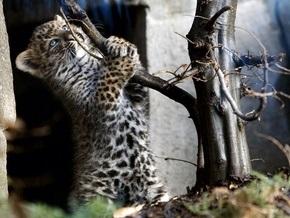 В парижском зоопарке родились два редкостных леопарда