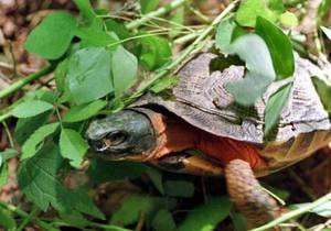 Новости Китая - новости о животных: Житель Китая пытался пронести на борт самолета спрятанную в бургере черепаху