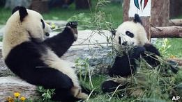 Зоопарк Эдинбурга сажает бамбук в ожидании панд