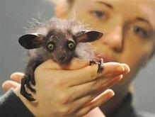 В Британии родилась редчайшая Мадагаскарская руконожка