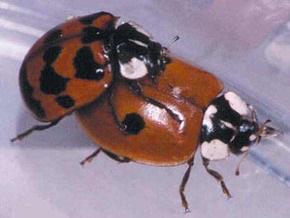 Гомосексуальные насекомые