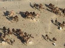 Сегодня мусульмане ведут на закланье ягнят и козлят