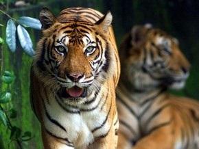 В Румынии из зоопарка сбежали тигры