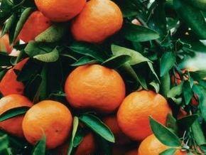Мандарины к Новому году могут подешеветь до трех гривен за килограмм