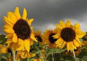Минагрополитики прогнозирует рекордный урожай подсолнечника