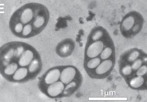 Обнаружены бактерии, способные изменить представления обо всем живом на планете