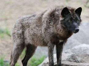 По улицам Симферополя разгуливала волчица
