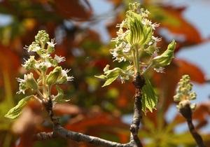 новости Киева - каштаны - Крещатик - Итальянские поставщики каштанов пообещали заменить деревья на Крещатике