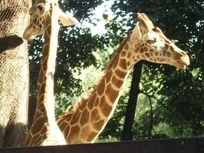 В киевском зоопарке умер жираф