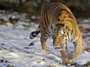 В Непале тигров посадили на диету