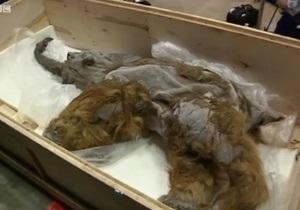 Японцы увидят замороженного мамонта
