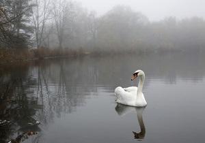 В Британии чрезмерно агрессивному лебедю нашли новое жилье