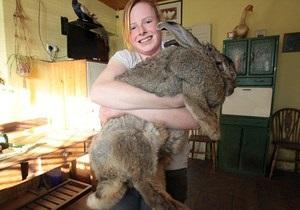 Новости Великобритании - странные новости - необычные рекорды: Британский кролик претендует на звание самого крупного представителя вида