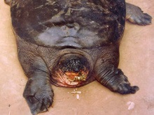 Во Вьетнаме нашли редчайшую черепаху