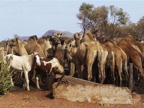 Австралийский городок захватили дикие верблюды