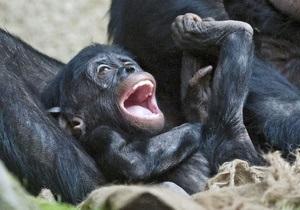 Люди и бонобо схожи в эмоциональном развитии - ученые