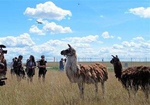 Новости США - новости о животных: В аэропрту Чикаго работают ламы, козы и овцы