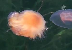 В Швеции из-за медуз приостановили работу АЭС