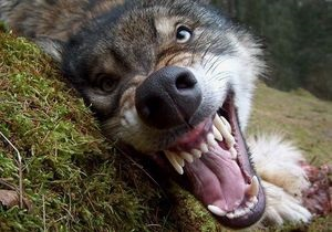 новости Житомирской области - волк - нападение - В Житомирской области на сельских жителей напал волк