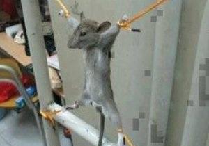 Странные новости - новости о животных: Житель Палестины распял мышь, съевшую его месячную зарплату