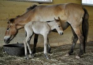 Новости науки: Появилась на свет первая в мире лошадь Пржевальского, зачатая с помощью искусственного осеменения